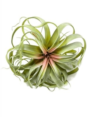 Tillandsia bush green/ pink H30 см 8EE423202